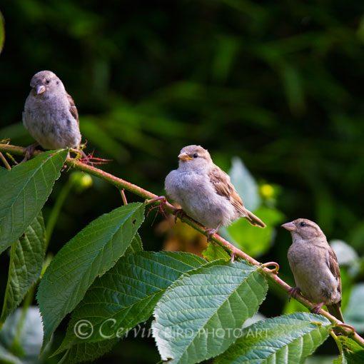Sparrow3_Sp1_DSC6407