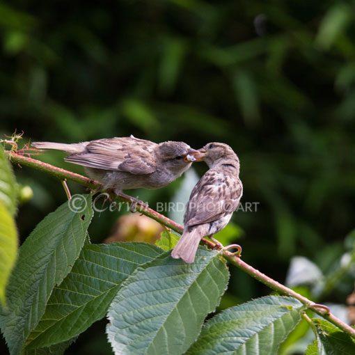 Sparrow_sp2_DSC6397