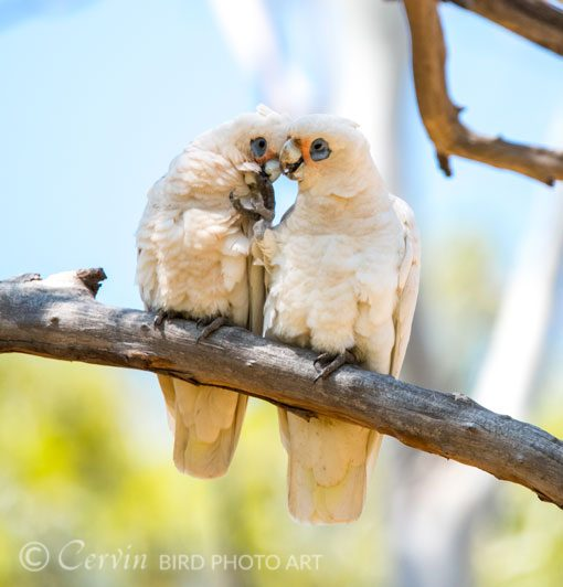 Corella_CO1_DSC3761
