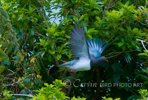 pigeon_PI1_DSC8528
