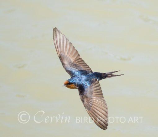 Swallow_SW2_DSC4396